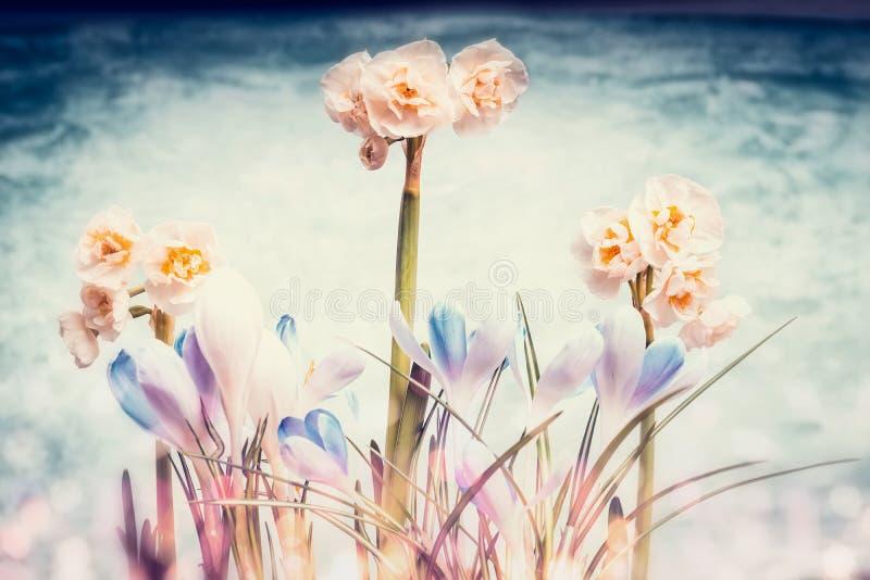 Krokusar och påskliljor blommar med bokehljus, vår arkivbilder