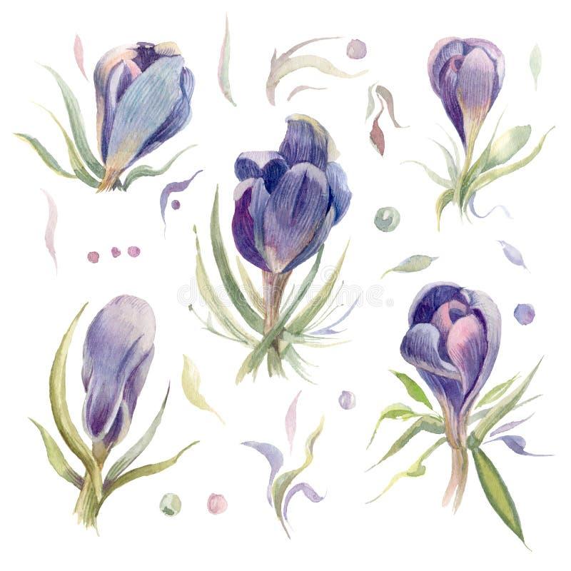 krokusar Vårvattenfärgblommor som isoleras på en vit bakgrund royaltyfri illustrationer