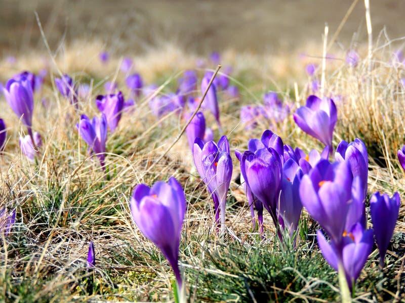 Krokusbloemen royalty-vrije stock afbeeldingen