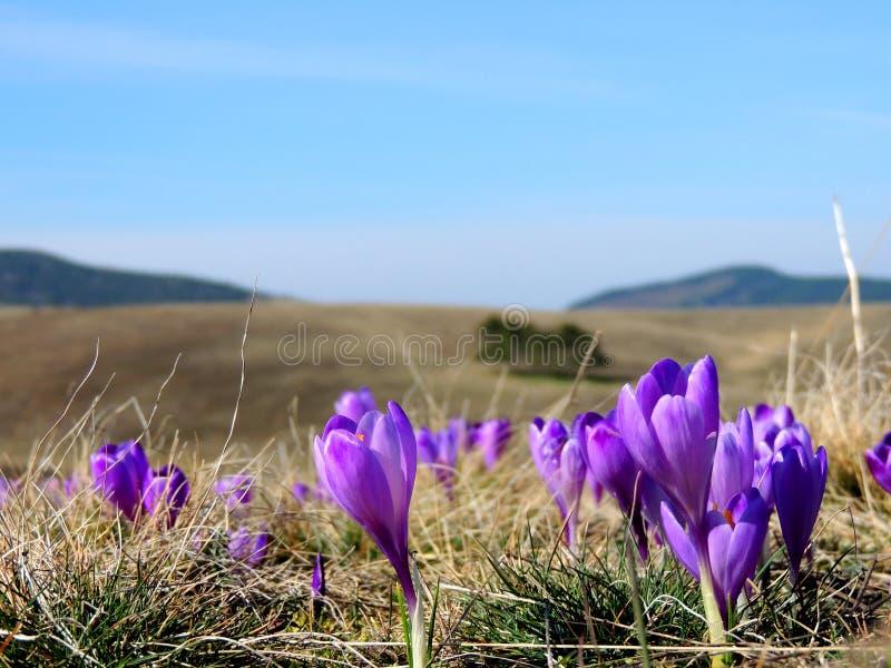 Krokusbloemen stock foto