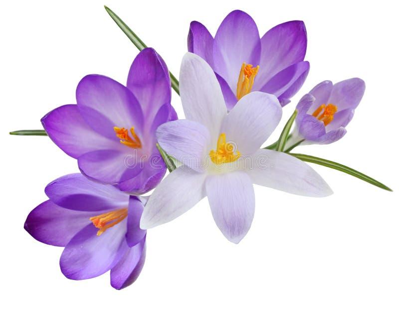 Krokusbloemen stock afbeeldingen