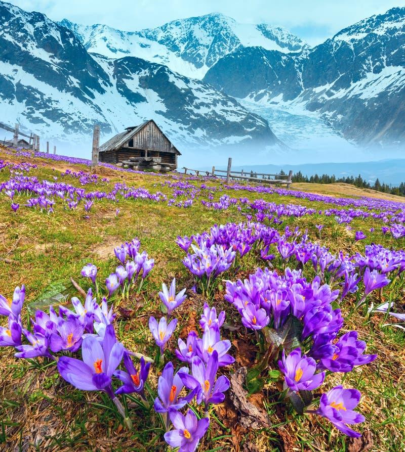 Krokusbloemen op de lenteberg en gletsjer royalty-vrije stock afbeeldingen