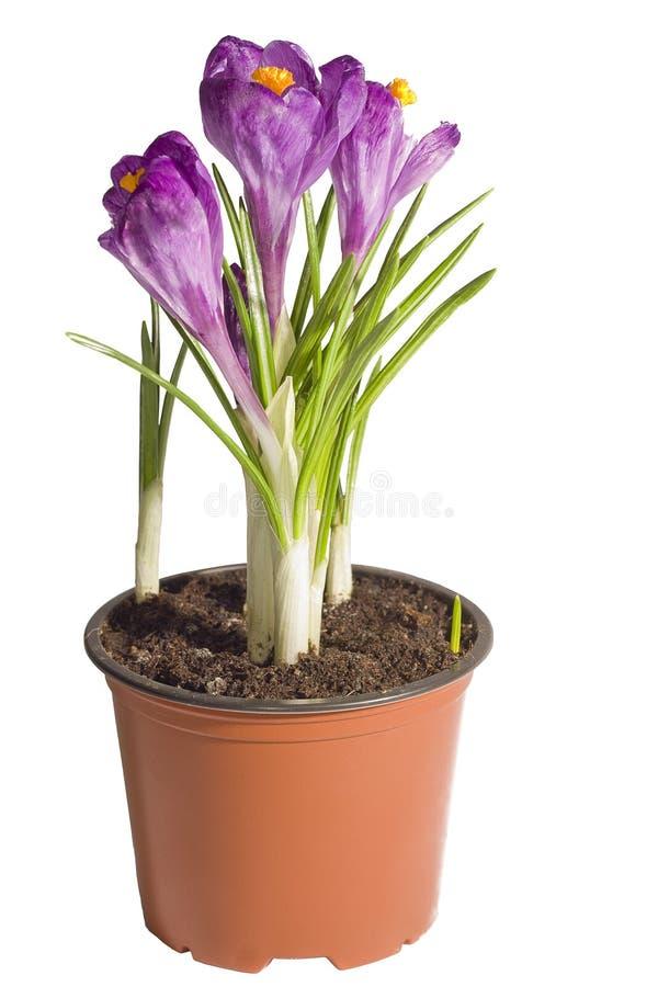 Krokusblom i en blomkruka fotografering för bildbyråer