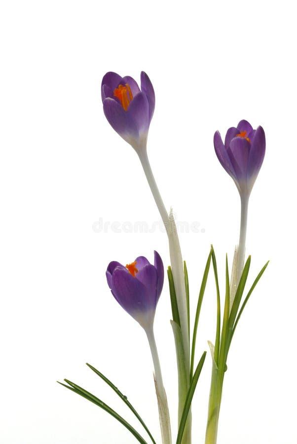 krokusblommor isolerade purpur white royaltyfri bild