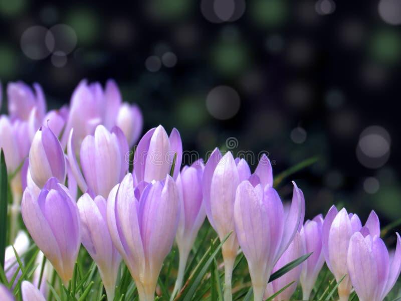Krokusblume bokeh Zusammenfassungshintergrund des Frühlinges purpurroter lizenzfreies stockfoto
