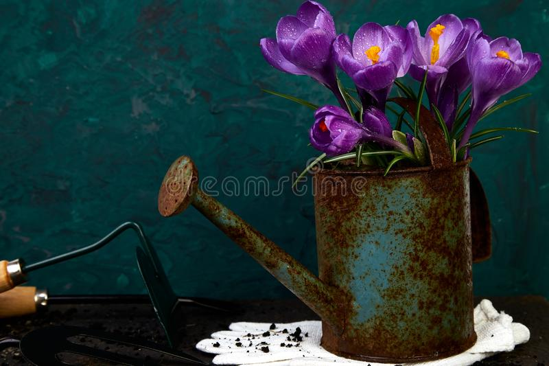 Krokusblume im Bewässerungstopf Frühling, Gartenarbeitwerkzeuge stockfoto