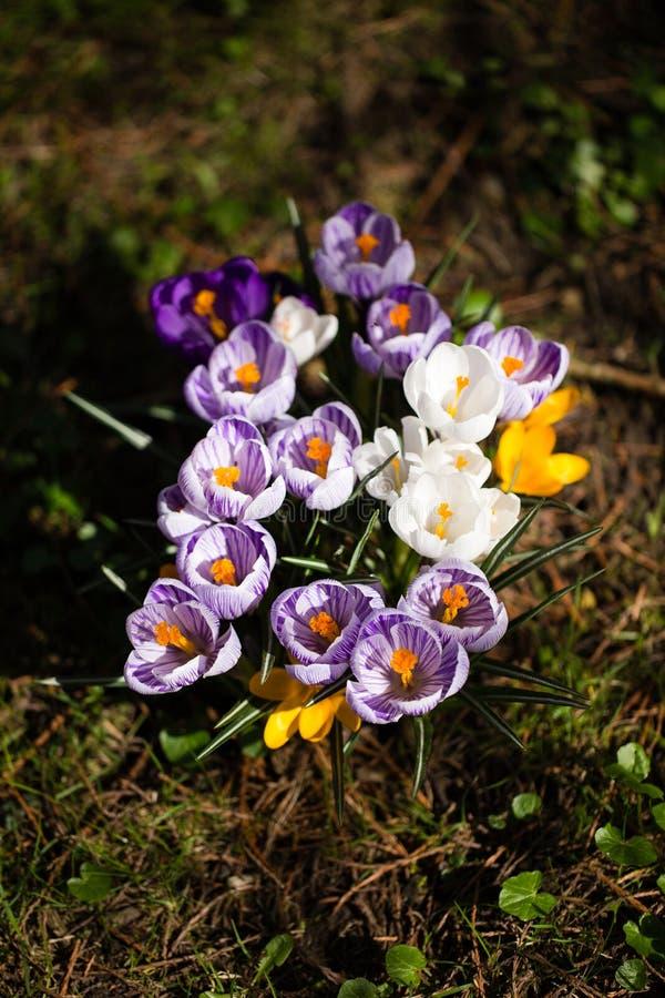 Download Krokusblumen Eine Gruppe Krokusse Im Gras Stockfoto - Bild von gruppe, jahreszeit: 90235820
