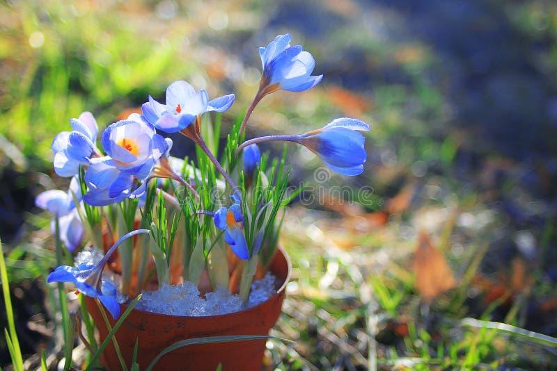 Krokusblumen in einem Topf stockbild