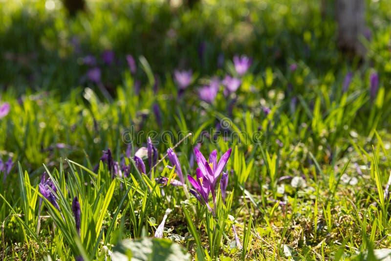 Krokusblumen im Frühjahrsonnenschein Safranblüte krokus Frühling lizenzfreies stockbild