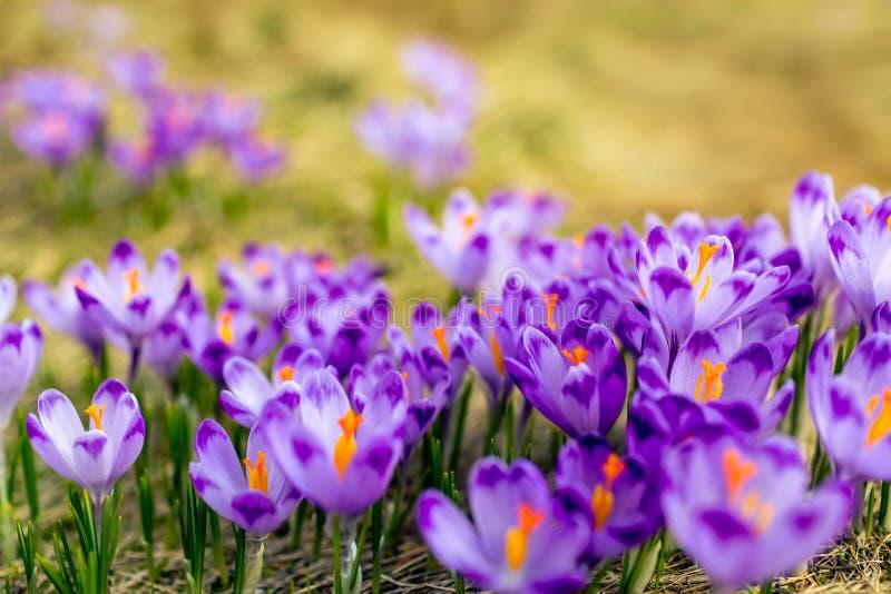 Krokusclose-up over groen gras, bloemenlandschap stock afbeeldingen