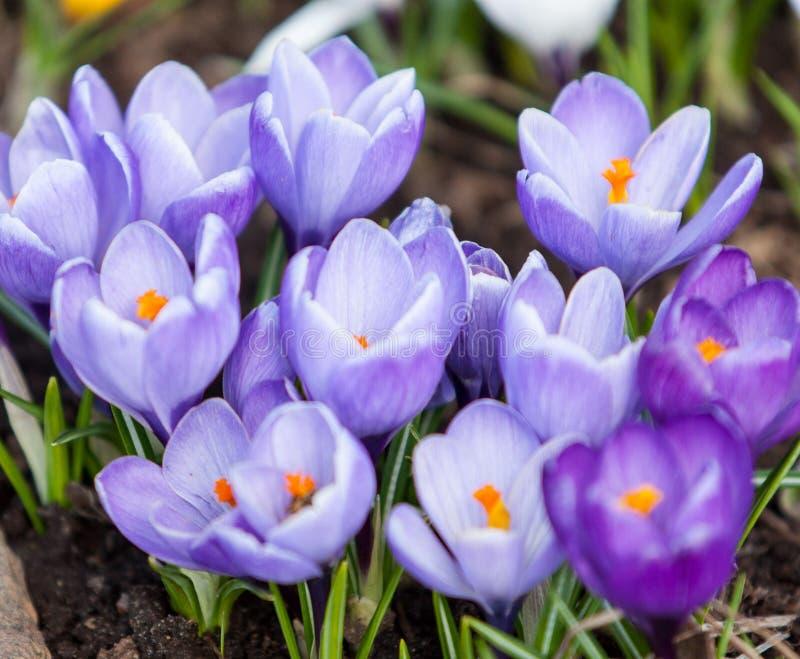 Krokusfrühlingsblumen stockfotos