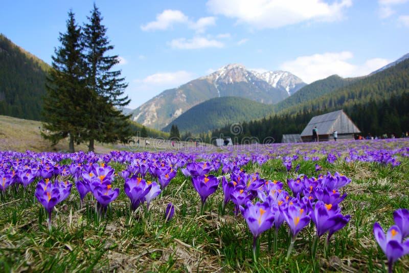 Krokusse in Chocholowska-Tal, Tatra-Berge, Polen stockbilder