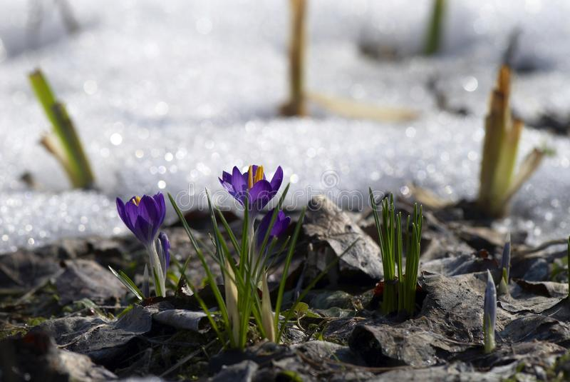 Krokusse im frühen Frühling stockbild