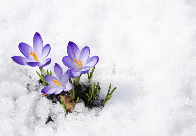 Krokusse im Schnee lizenzfreies stockbild