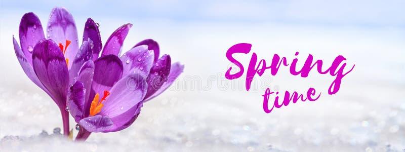 Krokussen - bloeiende purpere bloemen die hun manier van onder de sneeuw in de vorm van prentbriefkaar met groettekst maken royalty-vrije stock fotografie