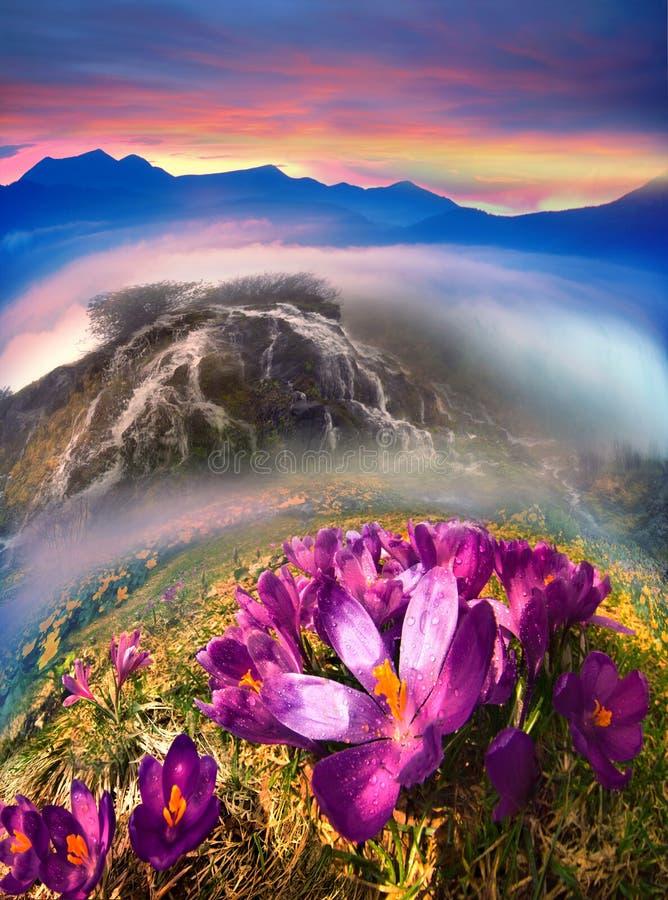 Krokussen in de bergen stock afbeelding