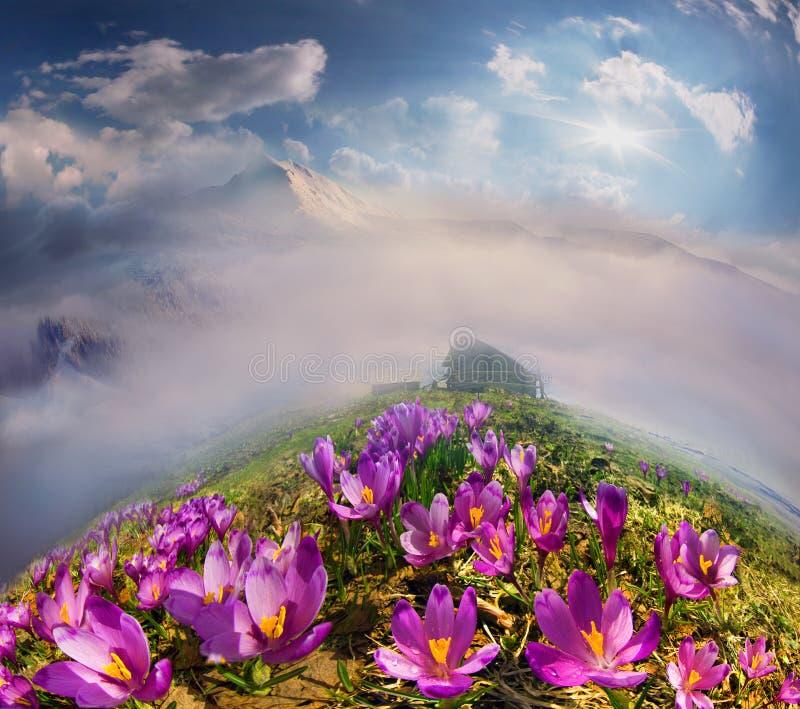 Krokussen in de bergen stock afbeeldingen
