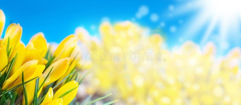 Krokussen, de lente, Banner stock foto