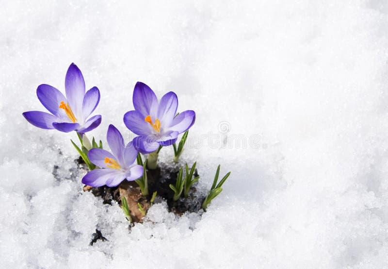 Krokussen in de sneeuw royalty-vrije stock afbeelding