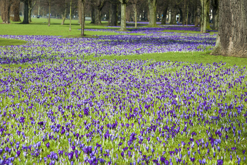 Krokussen die in park bloeien stock foto's