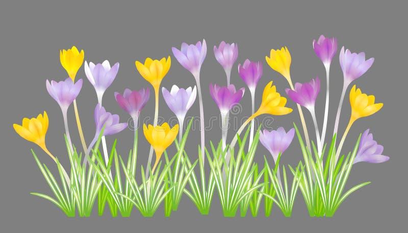 Krokussen - kleine, lente-bloeiende installatie van de irisfamilie Geïsoleerde, grijze achtergrond royalty-vrije illustratie