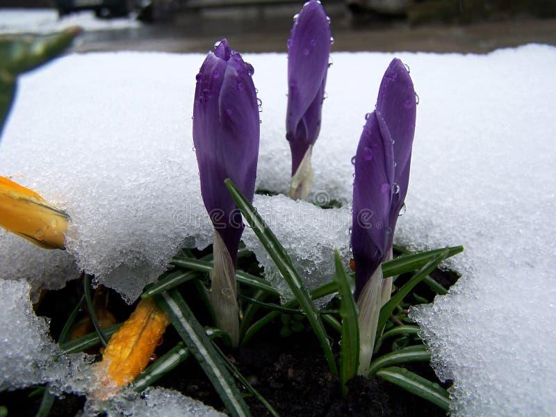 Krokussen onder sneeuw stock foto