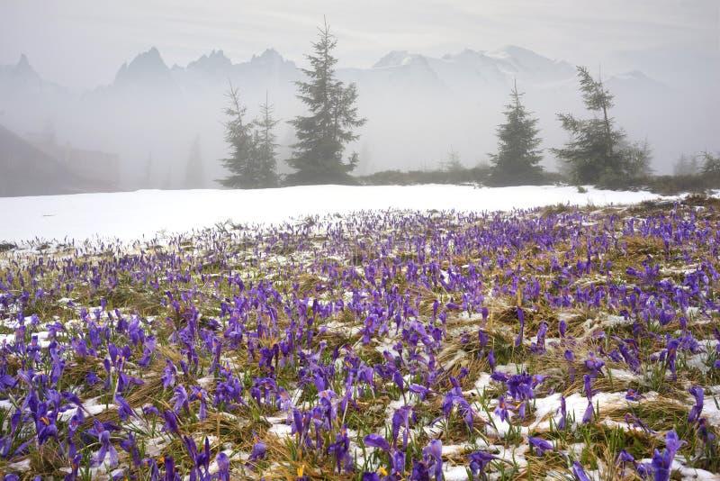 Krokussen - sneeuwbloemen van de lente royalty-vrije stock fotografie