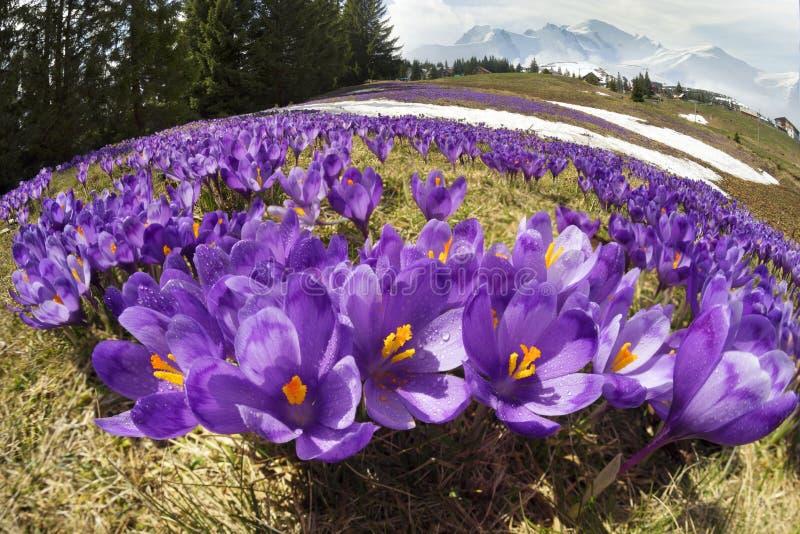 Krokussen - sneeuwbloemen van de lente royalty-vrije stock afbeelding
