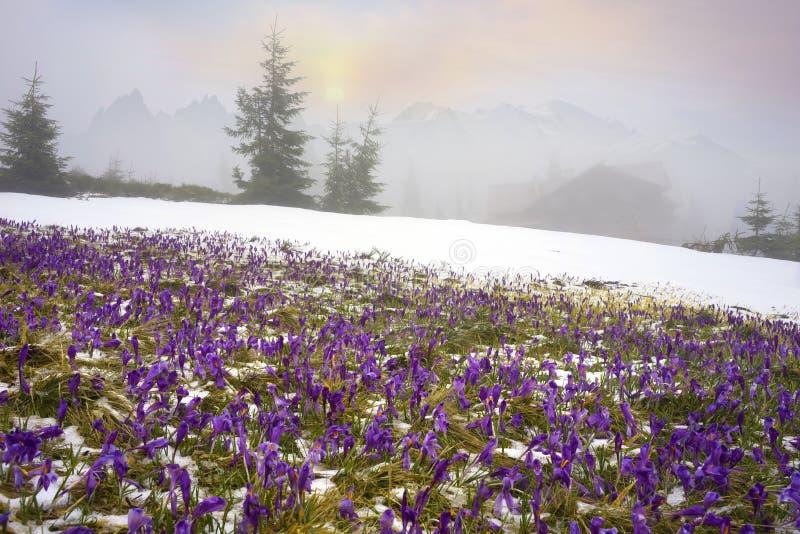 Krokussen - sneeuwbloemen van de lente stock foto