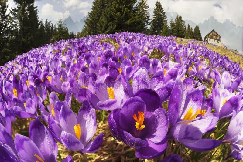 Krokussen - sneeuwbloemen van de lente royalty-vrije stock foto's