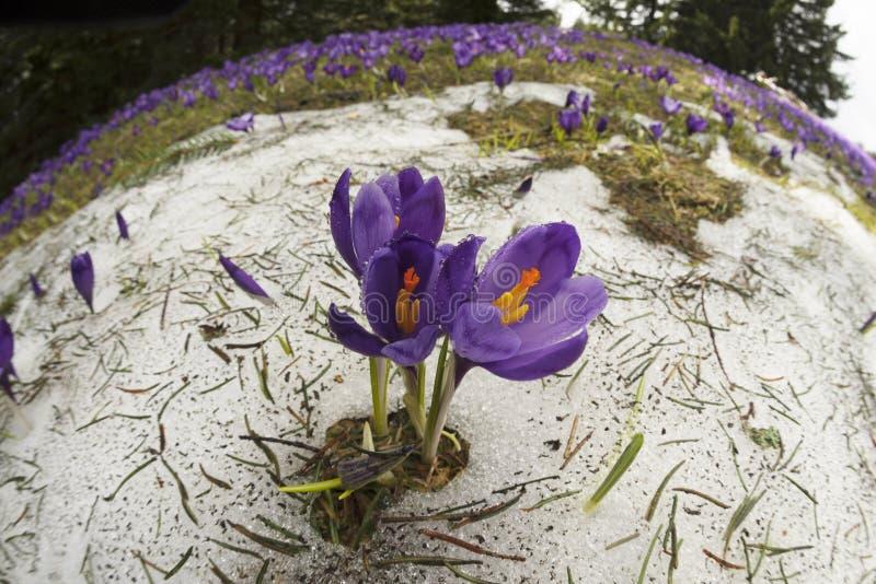 Krokussen - sneeuwbloemen van de lente stock foto's
