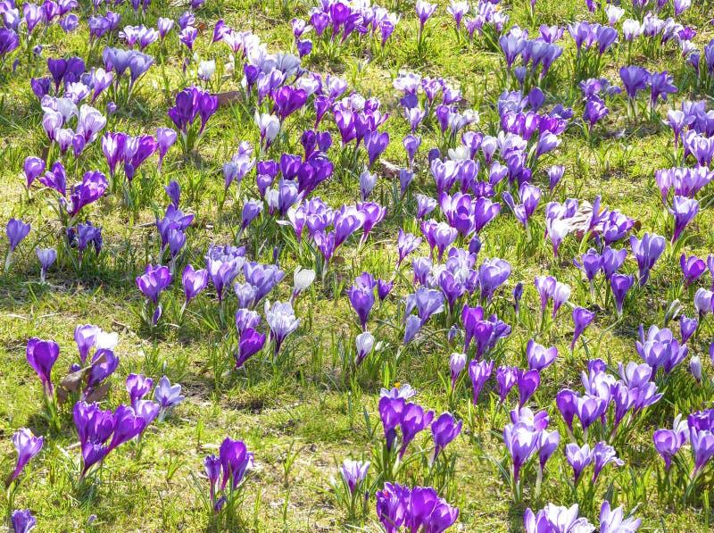 Download Krokussen, Violette De Lentebloemen. Stock Afbeelding - Afbeelding bestaande uit blossoming, openlucht: 39109375