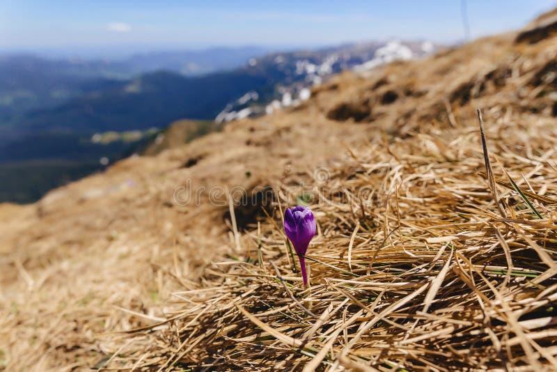 Krokusvernus på carpathian berg royaltyfri bild