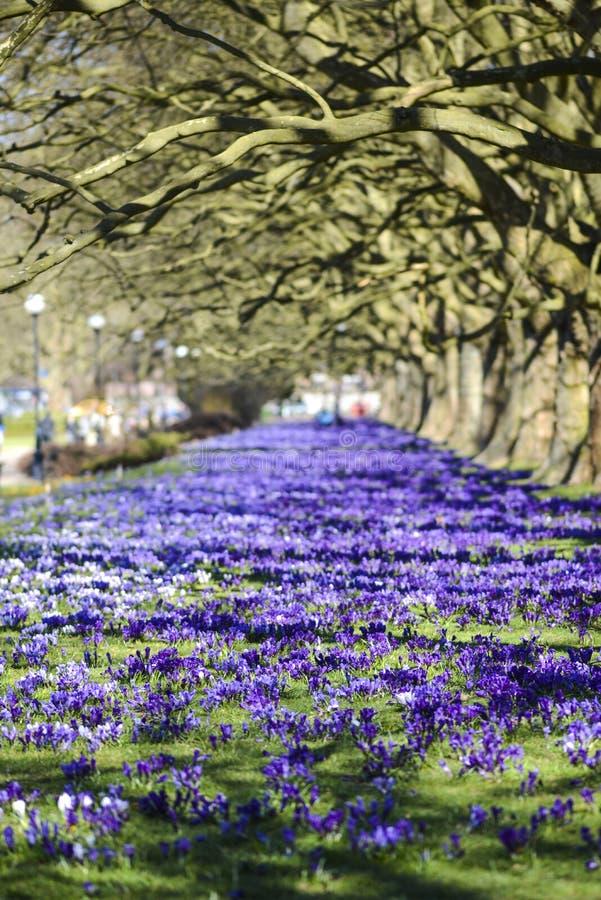 Krokusy kwitnie w wiośnie w parku w Szczecińskim obrazy stock