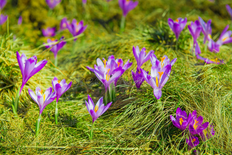 Krokusy na zielonej trawie przyszedł odizolowywającego strzał spring studia white obraz royalty free