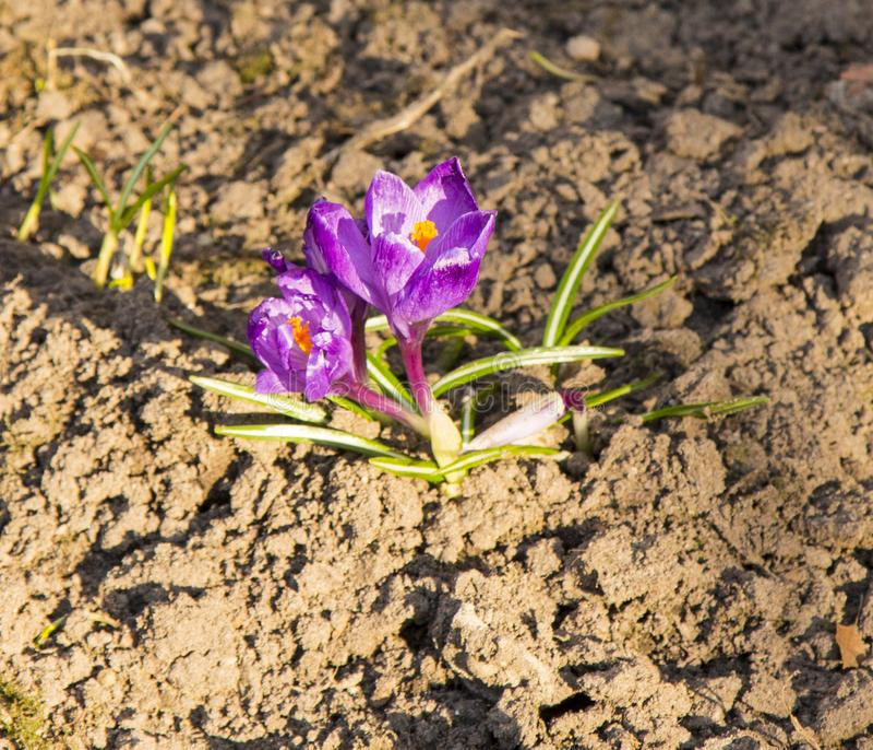 Krokusy są pierwszy wiosen kwiatami Czułość, łamliwość zdjęcia stock