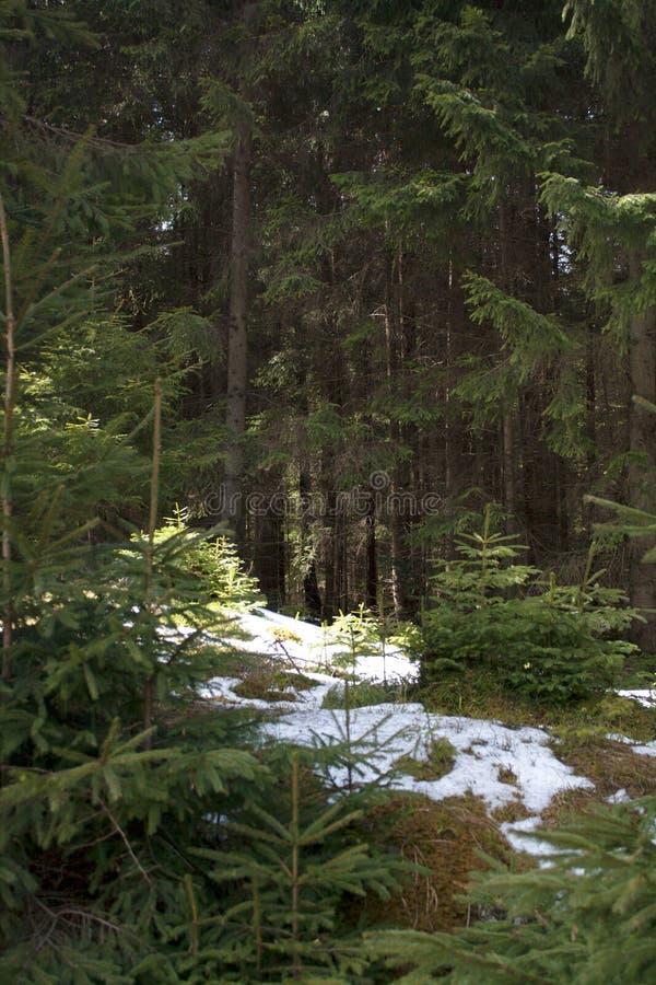 Kromp het bergen bosgazon met mos en smeltende sneeuw ineen royalty-vrije stock foto