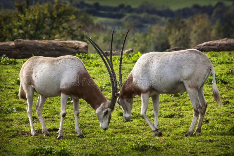 Kromzwaard Gehoornde Oryx stock foto