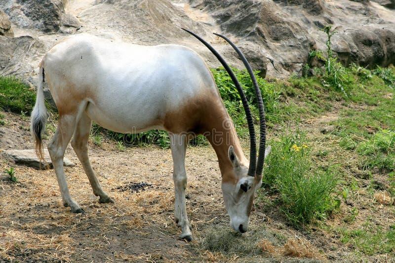 Kromzwaard-gehoornde Oryx royalty-vrije stock afbeelding