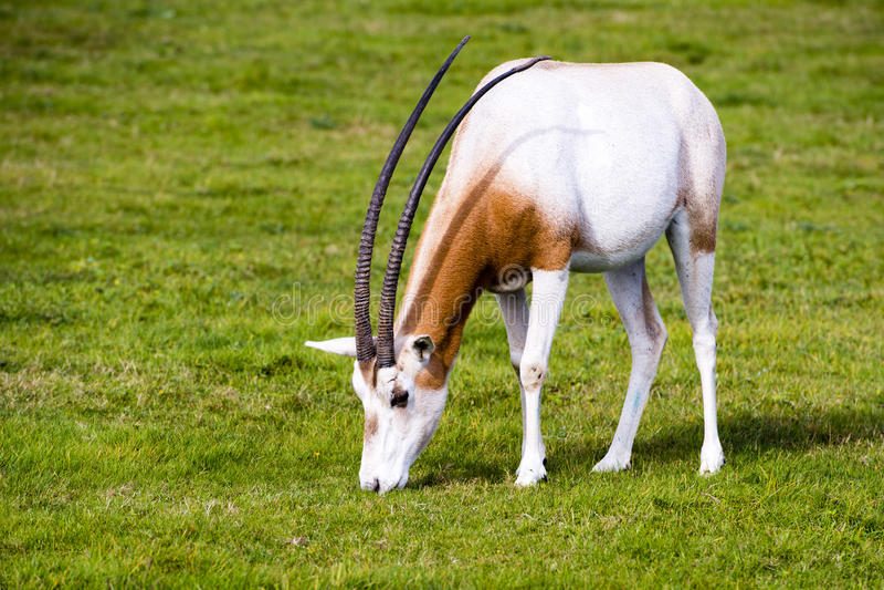 Kromzwaard-gehoornde Oryx in de wildernis stock afbeelding