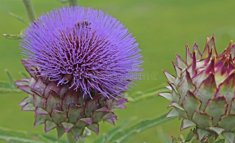 Kronärtskockor som blommar i trädgården royaltyfria bilder