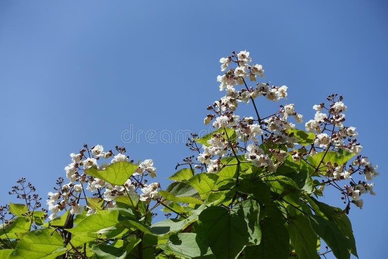 Krona av att blomma catalpa mot blå himmel royaltyfria foton