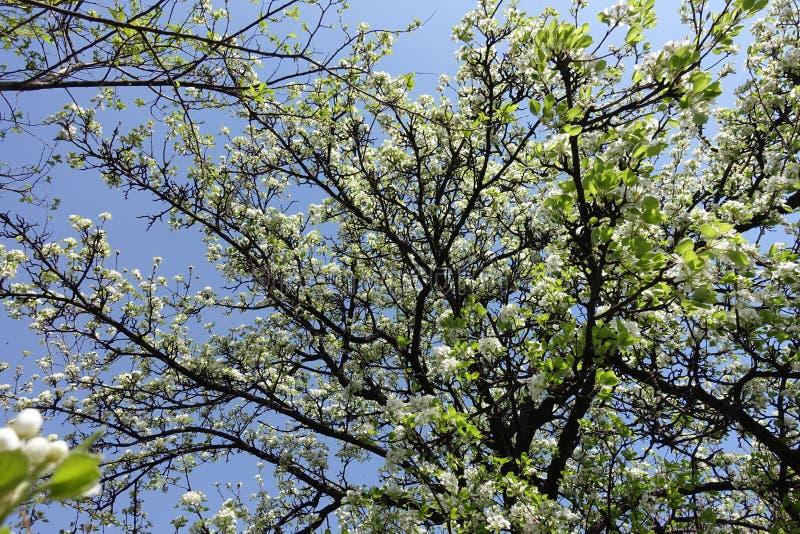 Krona av att blomstra päronträdet mot himlen royaltyfria bilder