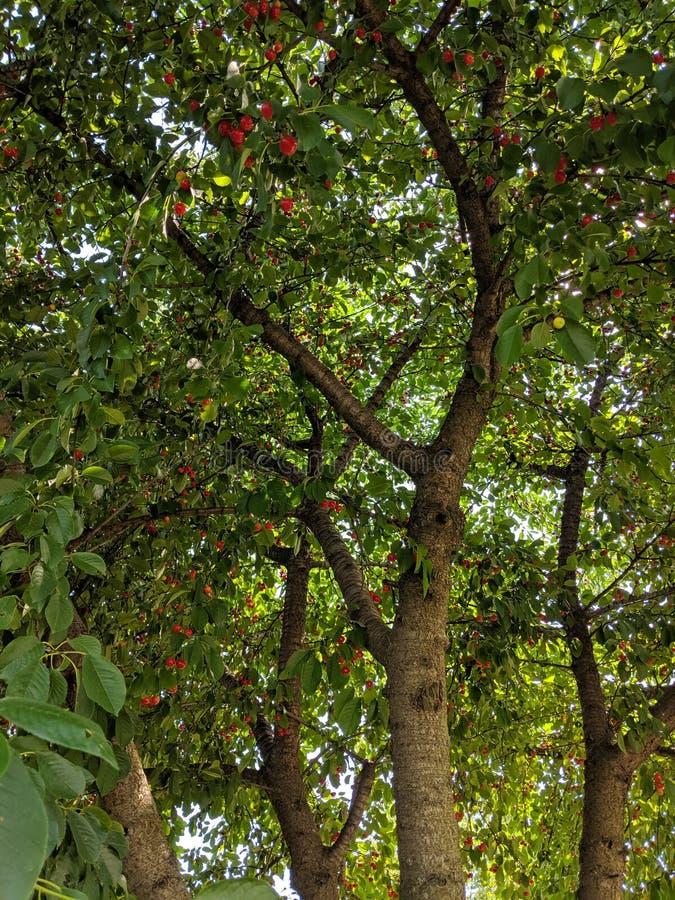 Krona av det körsbärsröda trädet från insidan med ljust röda körsbär och solsken som bryter till och med sidorna som göras genomv arkivbilder