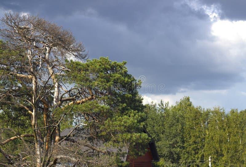 Krona av ett sörjaträd arkivfoto