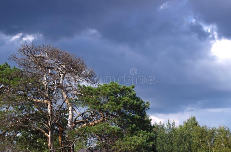 Krona av ett sörjaträd arkivbild
