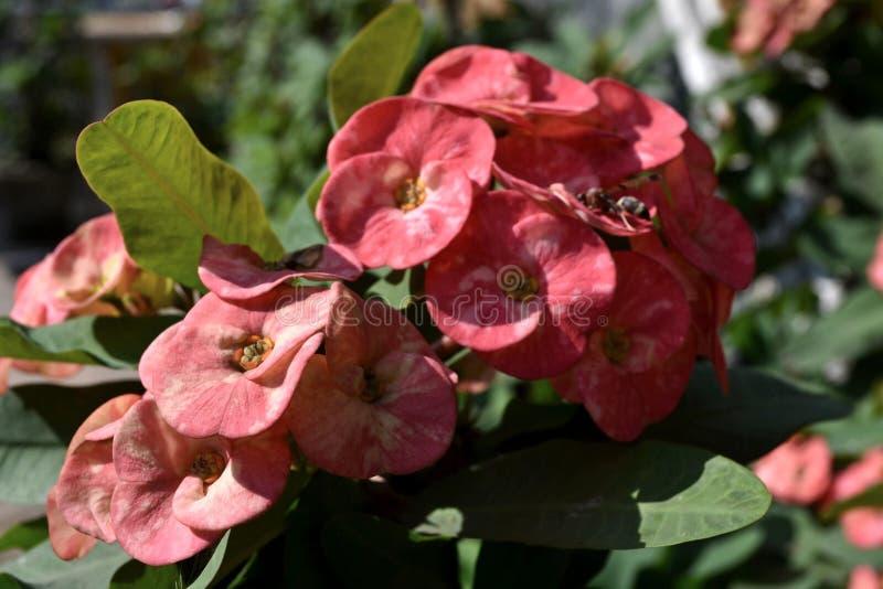 Krona av Thorn Flower royaltyfria bilder