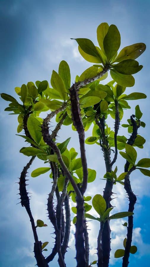 Krona av thronsväxten under blå himmel arkivfoto