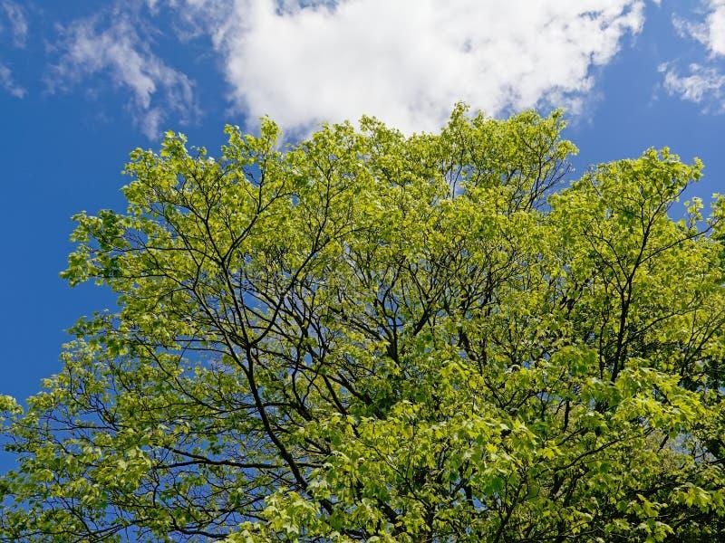 Kronan med den nya gröna våren spricker ut av ett träd för stor lönn royaltyfria bilder