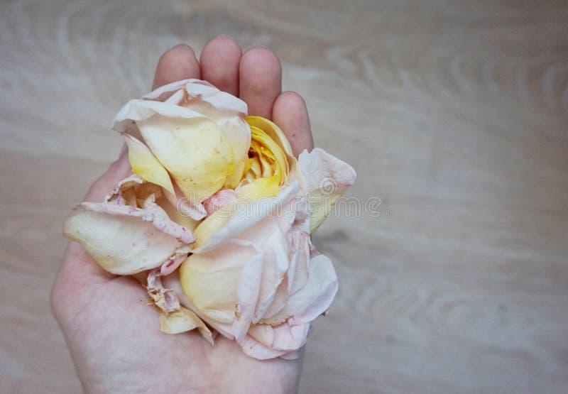 Kronblad av den delikata rosen är på den kvinnliga handen arkivfoto
